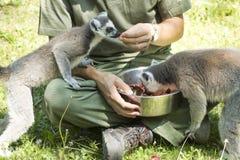 Lemursspeicherung Lizenzfreies Stockbild