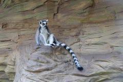 Lemurt kata. Sitting on rock stock image