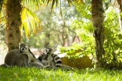 lemury Obraz Stock
