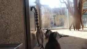 lemury zbiory