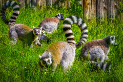 lemury Obrazy Stock