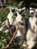 lemury Zdjęcia Royalty Free