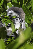 Lemury ma cuddle w gałąź Zdjęcia Royalty Free