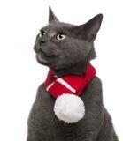 Lenço desgastando do inverno do gato de Chartreux, 3 anos velho Imagem de Stock Royalty Free