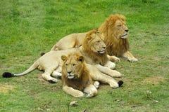 León africano masculino Imágenes de archivo libres de regalías