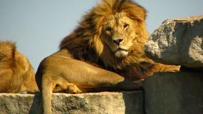 León africano que mira fijamente nosotros de una repisa de la roca Imagen de archivo