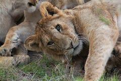 León curioso Imagen de archivo