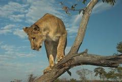 León de África (Panthera leo) Foto de archivo