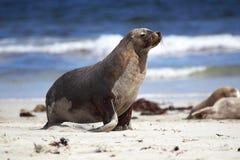 León de mar australiano (Neophoca cinerea) Imágenes de archivo libres de regalías