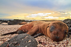 León de mar del bebé en la reclinación de las islas de las Islas Gal3apagos Fotos de archivo libres de regalías