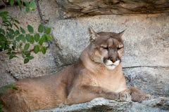 León de montaña Imagenes de archivo