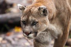 León de montaña de acecho Fotografía de archivo