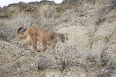 León de montaña en el vagabundeo para la comida Fotos de archivo libres de regalías