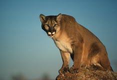 León de montaña en roca Foto de archivo libre de regalías