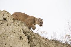 León de montaña que acecha hacia presa Imagenes de archivo