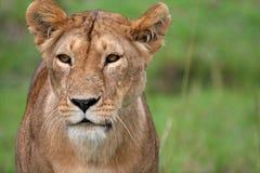 León en el parque Imagen de archivo libre de regalías