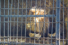 León en parque zoológico Fotografía de archivo