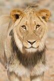 León joven Imagen de archivo libre de regalías