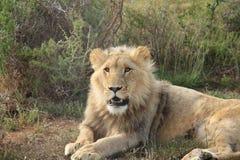 León joven vigilante Imagen de archivo