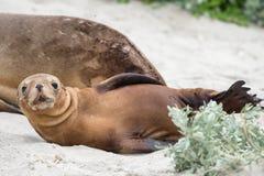 León marino australiano recién nacido en fondo de la playa arenosa Fotos de archivo