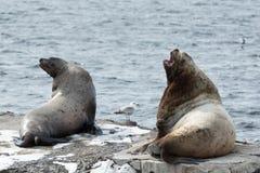 León marino de Steller de la colonia de grajos o león marino septentrional en Kamchatka Imagenes de archivo