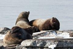 León marino de Steller de la colonia de grajos o león marino septentrional Kamchatka, bahía de Avacha Imagen de archivo