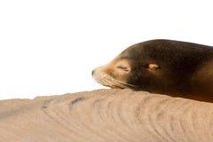 León marino que duerme en la piedra grande aislada en blanco Fotografía de archivo