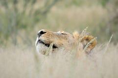 León masculino en el Kalahari Foto de archivo libre de regalías