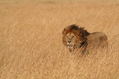 León masculino en Serengeti Foto de archivo
