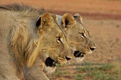 León masculino y femenino Imagen de archivo libre de regalías