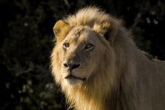 León (Panthera leo) Fotos de archivo