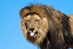 León, pegándose hacia fuera la lengüeta, embromando. Fotografía de archivo