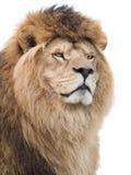León poderoso Fotografía de archivo libre de regalías