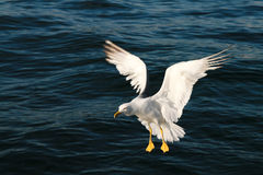 Lending seagull. Lending on the sea and catching Stock Photography