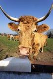 Lengüeta de la vaca Imagen de archivo