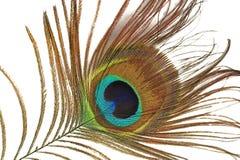 Lengüeta del pavo real Fotos de archivo libres de regalías