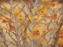 Lenga beech leafs. (Nothofagus pumilio) in autumn Stock Photos