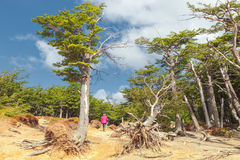 Lenga skogen - rutt till Torresen del Paine, Patagonia, Chile royaltyfria foton