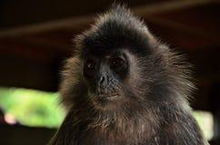 Lenggur selver обезьяны Стоковое Фото