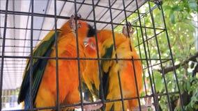 Lengte die van de speelse oranje papegaai van de liefdevogel in paar, in een birdcage blijven stock videobeelden