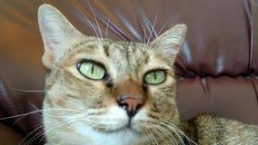 Lengte - kattenzitting op bank stock footage