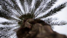 Lengte van de palm de dichte omhooggaande voorraad voorraad Een palm in dichte omhooggaand tegen een blauwe hemel en windbeweging stock video