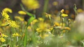 Lengte van gebied met de zomerbloemen die zich in de wind bewegen stock videobeelden