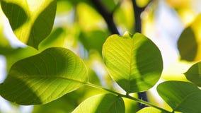 Lengte van sommige verse groene die bladeren op een boom door de wind wordt geblazen stock videobeelden