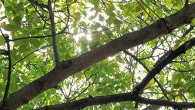 Lengte van sommige verse groene die bladeren op een boom door de wind wordt geblazen stock video