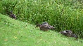 Lengte van wilde eendeenden die gras in een fins park eten stock footage