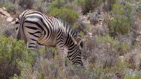 Lengte van zebra in de Kalahari stock videobeelden