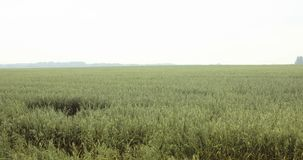 Lengtegebieden van haver mening van het havergebied, Servië stock footage