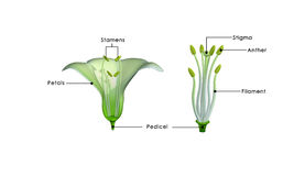 Free Length Of Stamen Stock Photography - 48747402