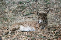 The bobcat in forest. Lengthened bobcat camouflaged in his environment Stock Images